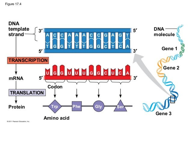 Protein Synthesis Diagram Campbell Trusted Wiring Diagram