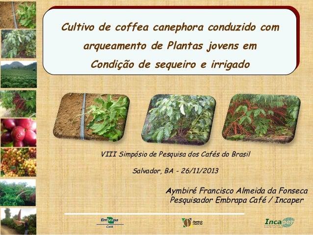 Cultivo de coffea canephora conduzido com Cultivo de coffea canephora conduzido com arqueamento de Plantas jovens em arque...