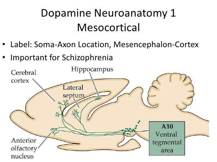 Dopamine Neuroanatomy 2               Mesolimbic• Limbic: amygdala, hippocampus, nucleus accumbens• Important for Drug-Abuse