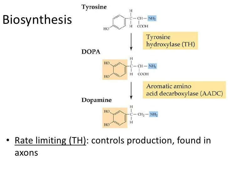 Biosynthesis• Rate limiting (TH): controls production, found in  axons