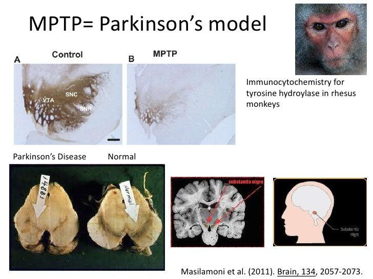 MPTP= Parkinson's model                                                Immunocytochemistry for                            ...