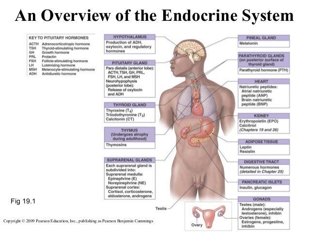 18. endocrine system, Cephalic vein