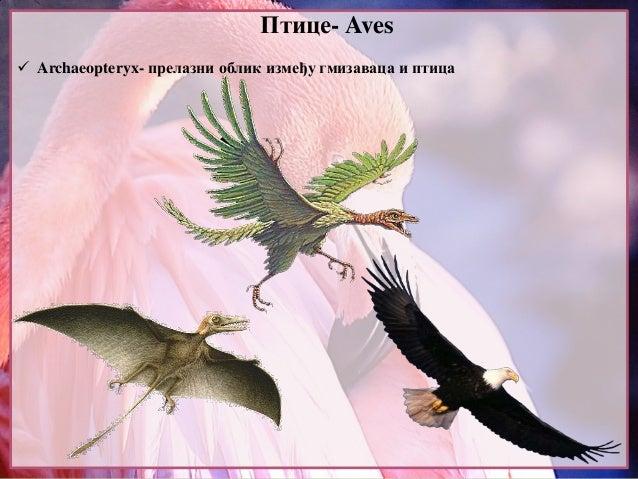 Птице- Aves  Archaeopteryx- прелазни облик између гмизаваца и птица