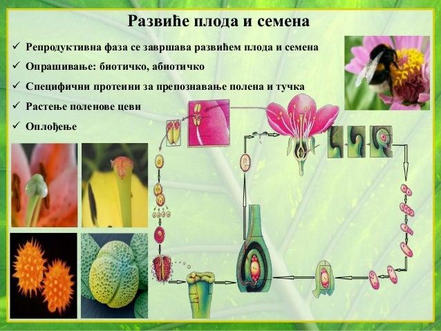 Развиће плода и семена  Репродуктивна фаза се завршава развићем плода и семена  Опрашивање: биотичко, абиотичко  Специф...