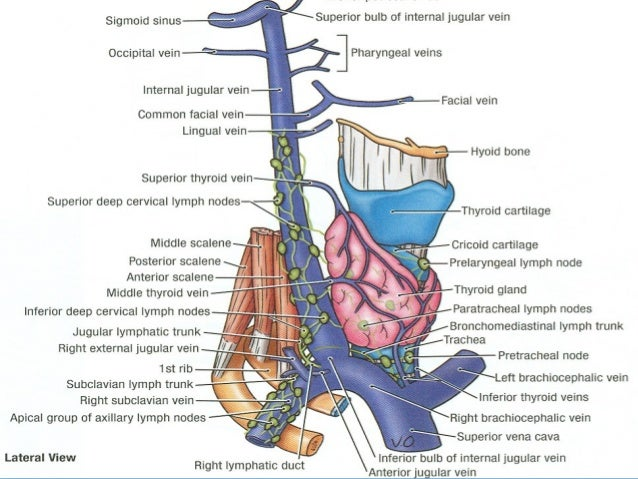 18 main arteries & veins of neck for anaesthesia