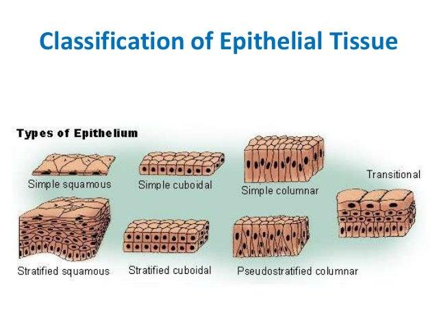 epithelial tissue definition - photo #13