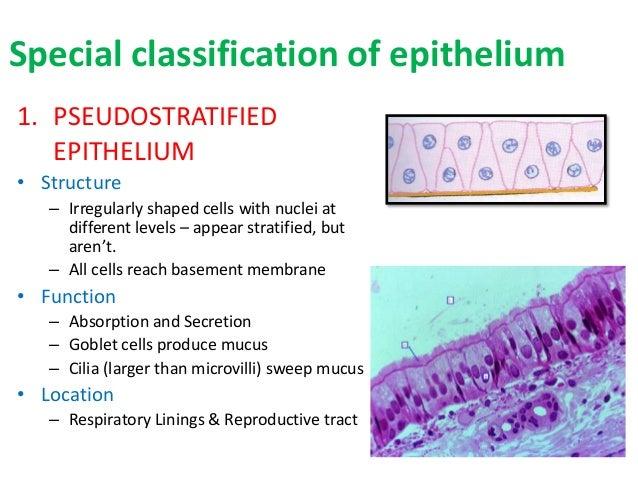 18 epithelium poonam