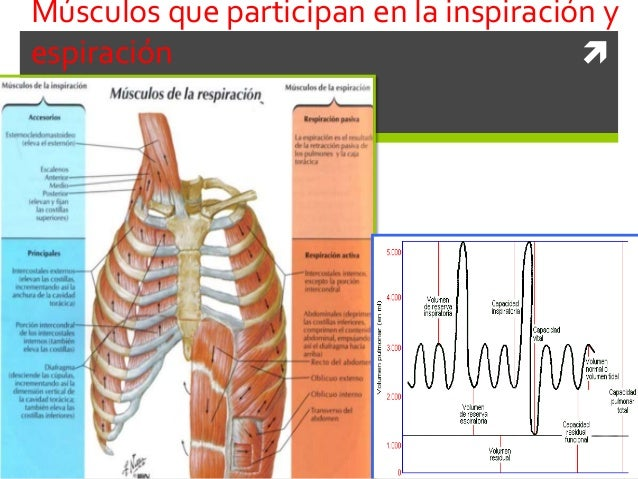 18 músculos de la respiración