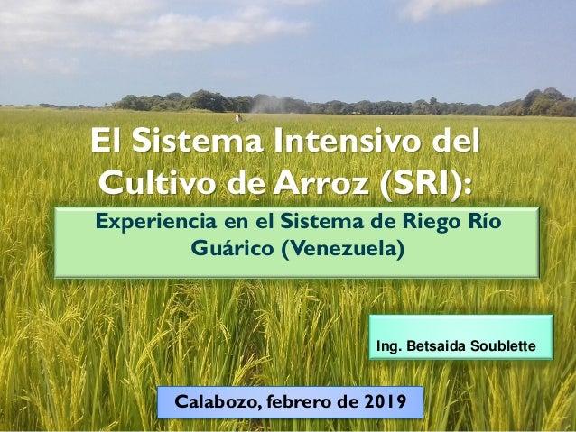 El Sistema Intensivo del Cultivo de Arroz (SRI): Experiencia en el Sistema de Riego Río Guárico (Venezuela) Ing. Betsaida ...