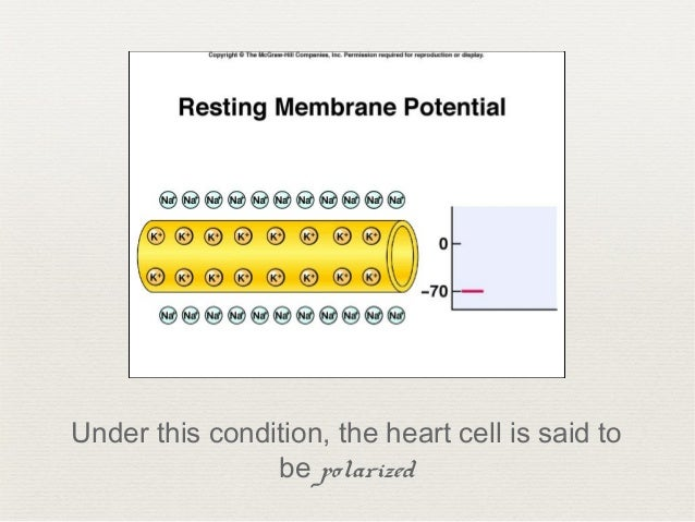 Electrical Activity of the Heart Slide 3