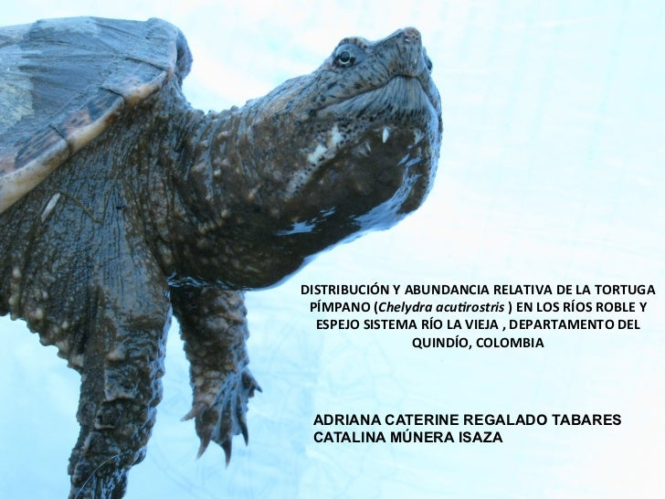 DISTRIBUCIÓN Y ABUNDANCIA RELATIVA DE LA TORTUGA  PÍMPANO (Chelydra acu,rostris ) EN LOS RÍOS ...