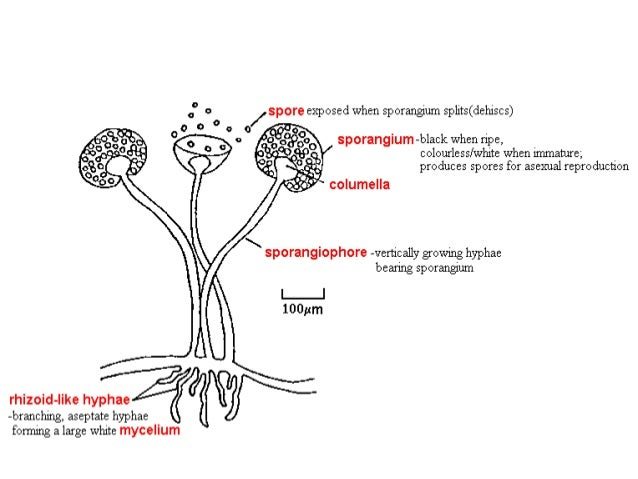 Sporulation asexual reproduction definition science