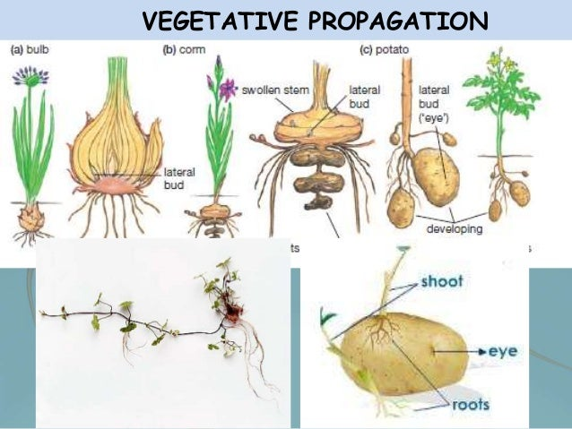 Vegetative Asexual Reproduction The gallery for -->...