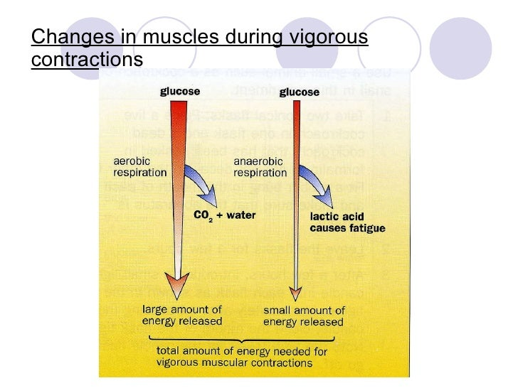 Which Muscles Are Used for Strenuous Exercise Breathing?