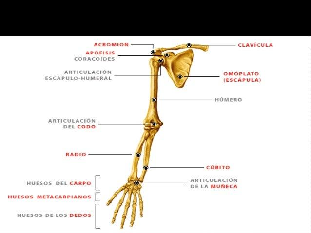 Anatomía, historia, posición, sist. óseo, hombro y brazo