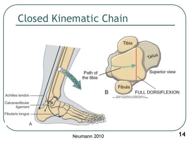 ankle biomechanics Biomechanics of ankle and foot ankle joint tibia and fibula talus bone anatomy • ankle mortise – leg • tib.