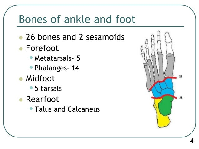 ankle biomechanics This paper provides an introduction to the biomechanics of the ankle, introducing the bony anatomy involved in motion of the foot and ankle the complexity of the ankle anatomy has a significant influence on the biomechanical performance of the joint, and this paper discusses the motions of the.