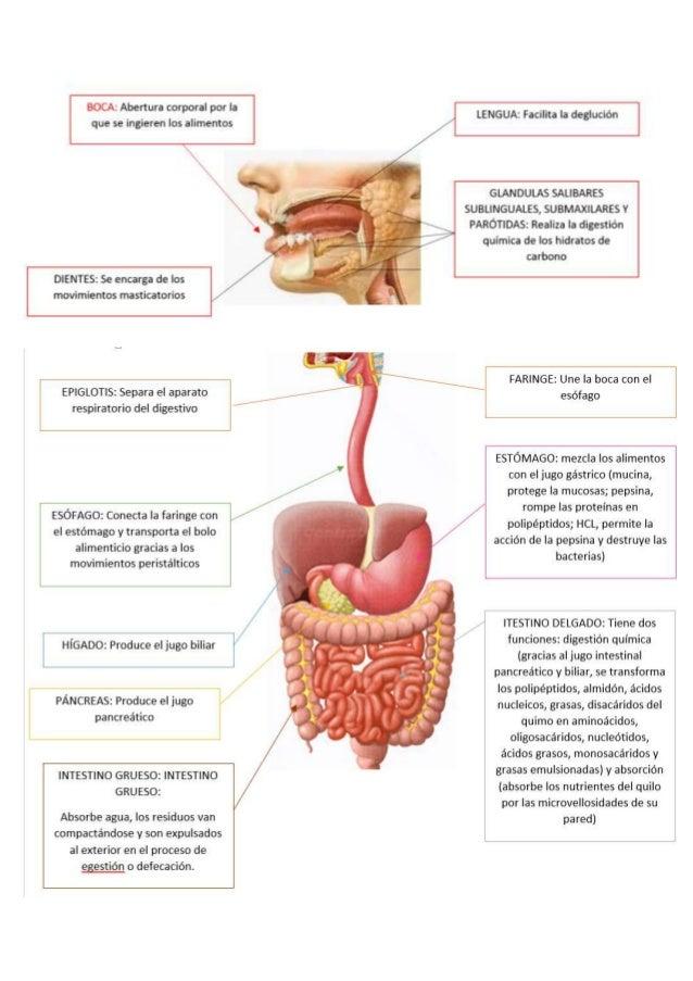 Famoso Diagrama Del Sistema Intestinal Friso - Anatomía de Las ...