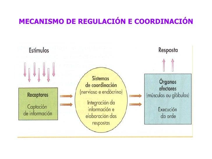 MECANISMO DE REGULACIÓN E COORDINACIÓN