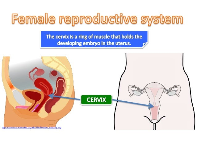 Biology form 5 chapter 4 41b reproductive organs httpcommonsmediawikifilefemaleanatomyg ccuart Choice Image