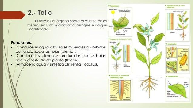 1 Clase Morfologia Vegetal Agronomia