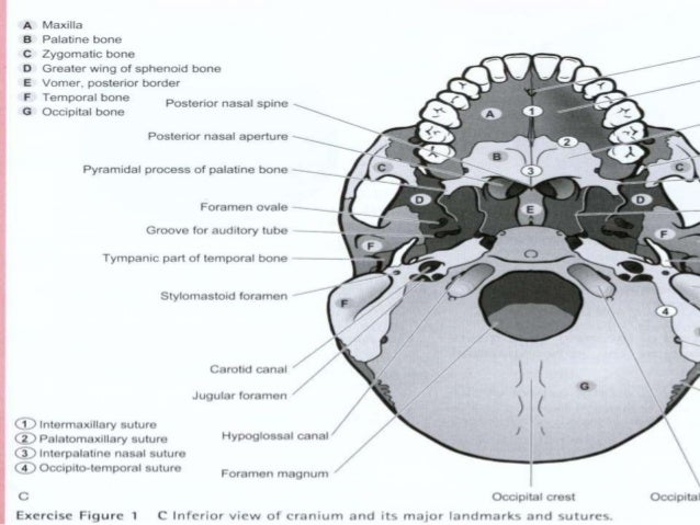 cranial manipulation, Human Body