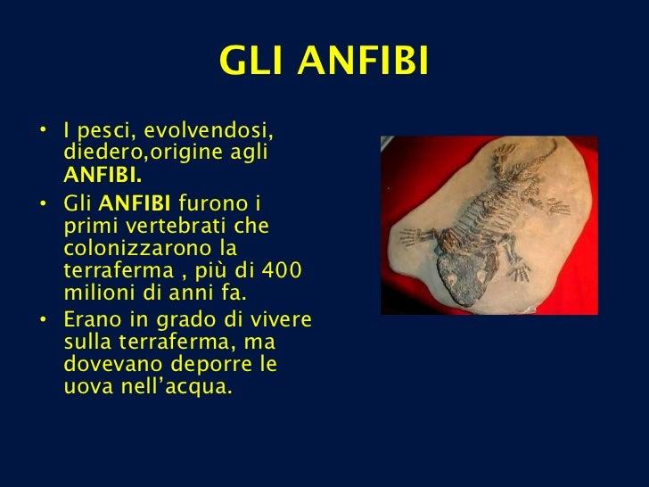 GLI ANFIBI <ul><li>I pesci, evolvendosi, diedero,origine agli  ANFIBI.   </li></ul><ul><li>Gli  ANFIBI  furono i primi ver...