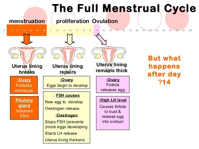 BIOLOGY FORM 5 CHAPTER 4 - 4.1D MENSTRUAL CYCLE
