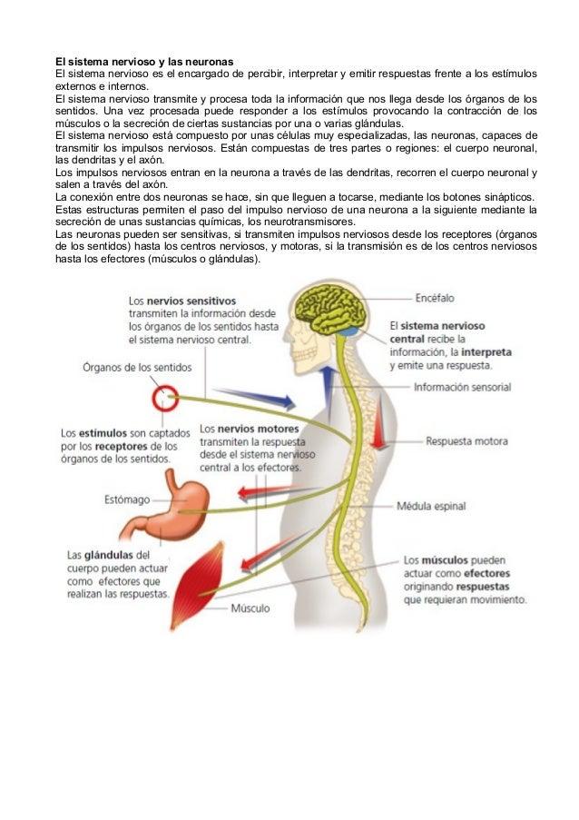 El sistema nervioso y las neuronas El sistema nervioso es el encargado de percibir, interpretar y emitir respuestas frente...