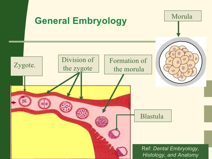 1 Embryology