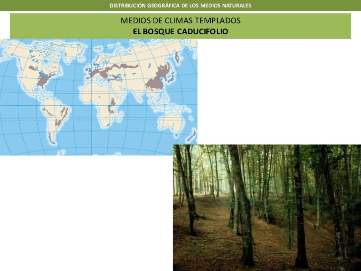 DISTRIBUCIÓN GEOGRÁFICA DE LOS MEDIOS NATURALES   MEDIOS DE CLIMAS TEMPLADOS     EL BOSQUE CADUCIFOLIO