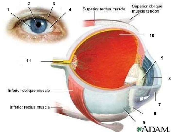 chapter 14 the human eye lesson 1 - anatomy of the human eye, Muscles