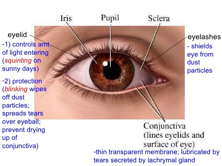 Human Eye And Eyelid Diagram - Auto Electrical Wiring Diagram •