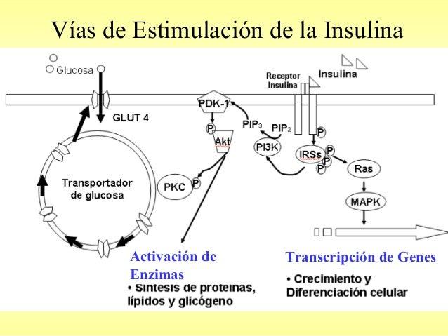 Insulina, Glucagon y Tranportadores de glucosa: Glut SGlut