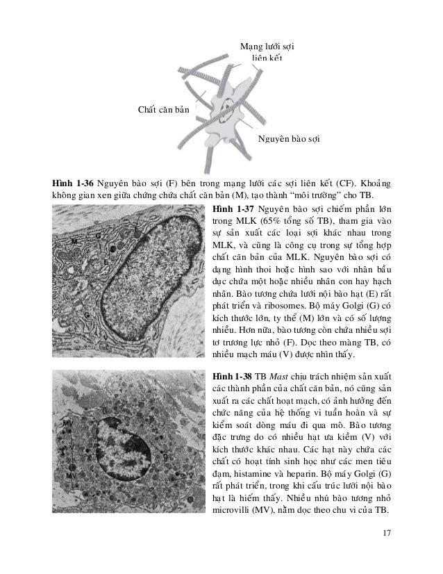 17 Hình 1-36 Nguyeân baøo sôïi (F) beân trong maïng löôùi caùc sôïi lieân keát (CF). Khoaûng khoâng gian xen giöõa chöùng ...