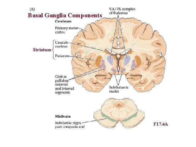 Anatomia y fisiologia de los ganglios de la base (basico)