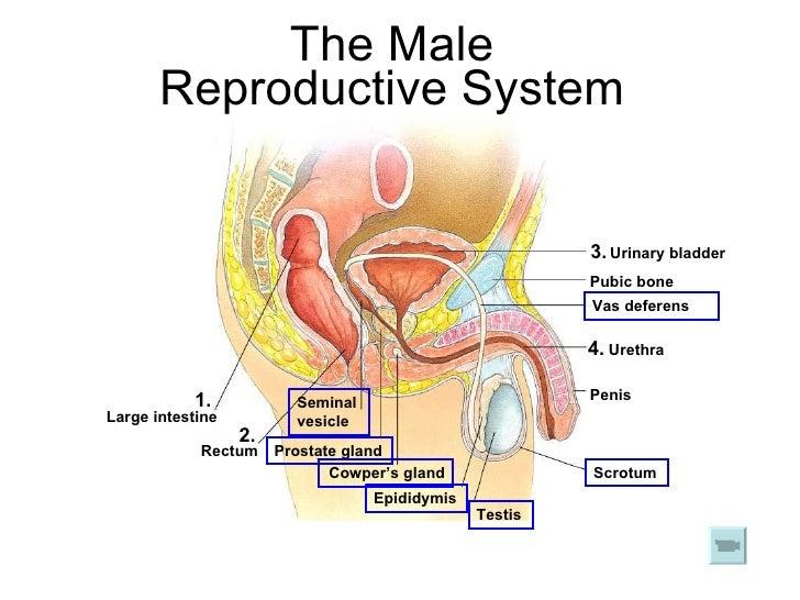 Male Reproductive Diagram 18 1 Diy Wiring Diagrams