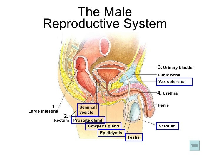 chapter 17 reproduction in humans lesson 1 - human reproductive system, Muscles