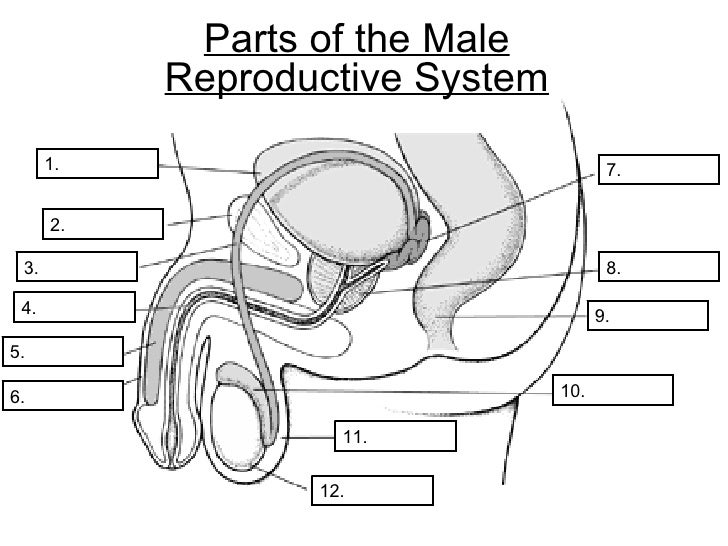 Male And Female Reproductive System Diagram Worksheet Male ...