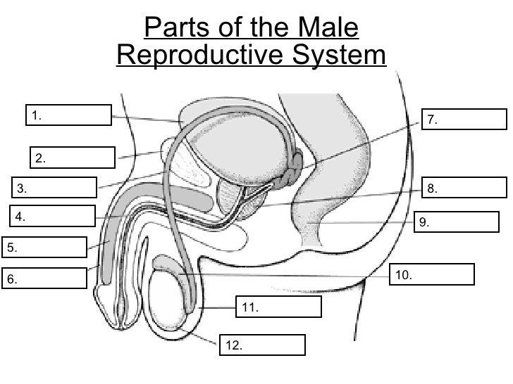 Reproductive System Worksheet | ABITLIKETHIS