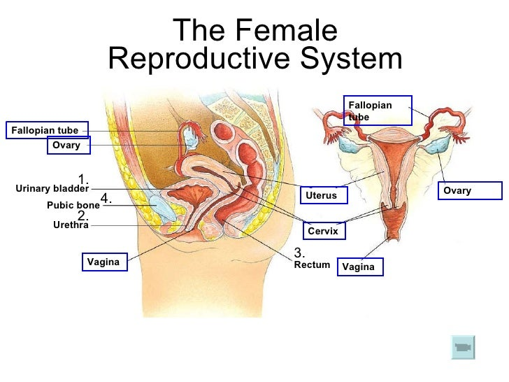 Chapter 17 reproduction in humans lesson 1 human reproductive system 21 the female reproductive system ccuart Choice Image