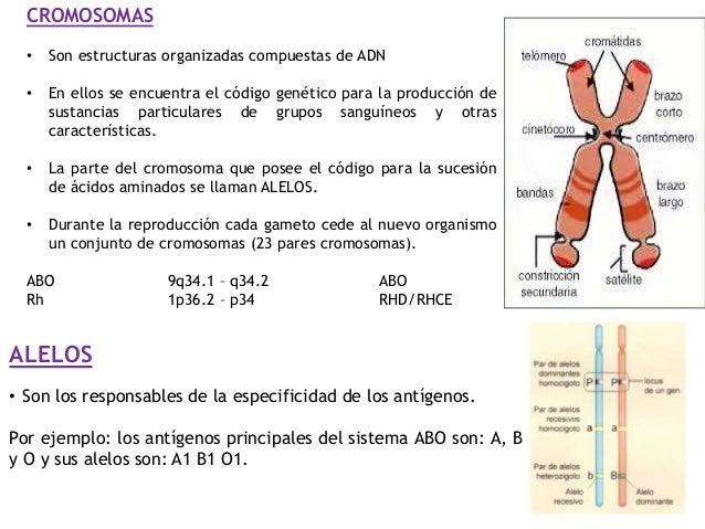 ALELOS • Son los responsables de la especificidad de los antígenos. Por ejemplo: los antígenos principales del sistema ABO...