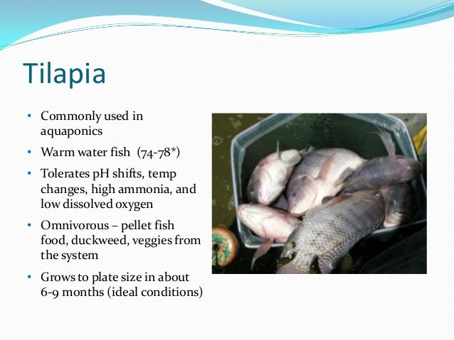 Aquaponics tilapia water temperature for Growing plants with fish