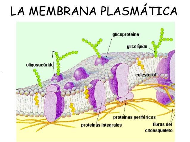 1 membrana plasm tica viejo for Pared y membrana celular