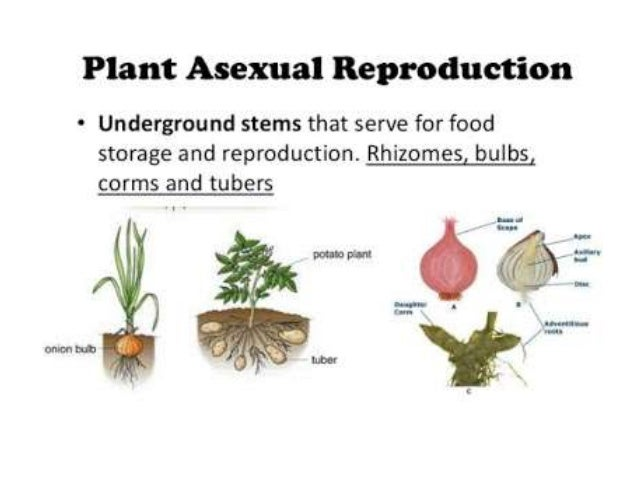 Artificial asexual propagation prohibited