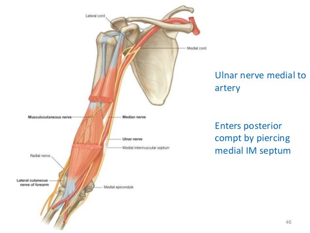 1 Nerves Of Upper Extremity