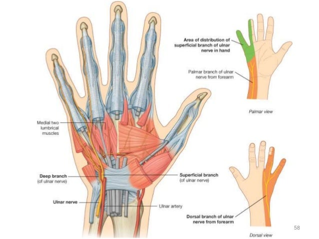1 Nerves Of Upper Extremity
