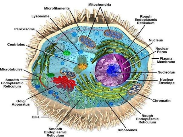 Image result for Cells nucleus