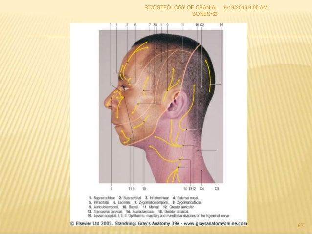 1 osteology of cranial bones rt(67) dr. rahul tiwari, Cephalic Vein