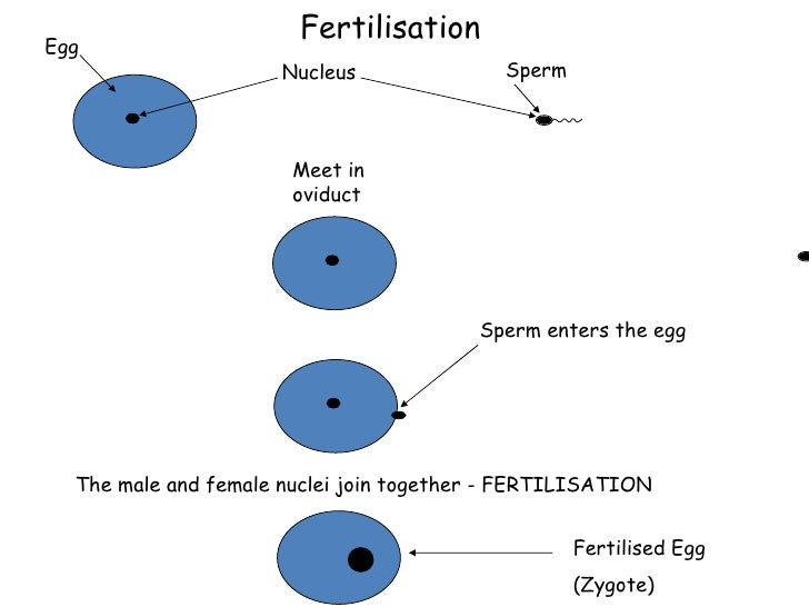 what is the joining of male and female sex cells called in Norwalk
